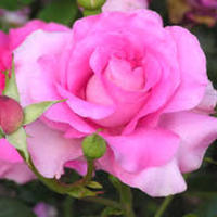 Thumb_blg_0105_rose_images